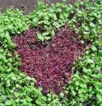 Catch crop heart 7 2