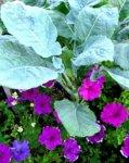 kale and petunias 3