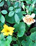rose n squash small 4