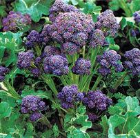 broccoli purple cropped 2